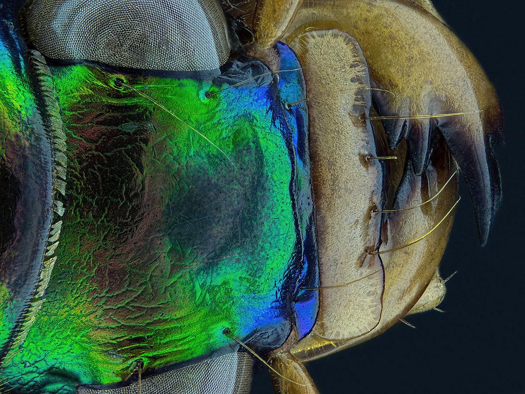 Cicindelinae Detail