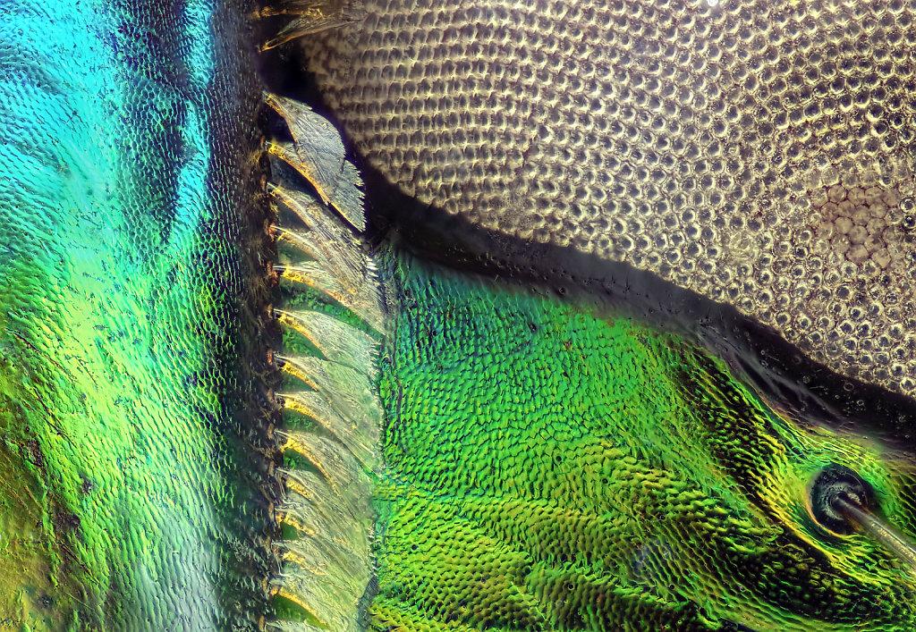 05_Cicindelinae_Detail